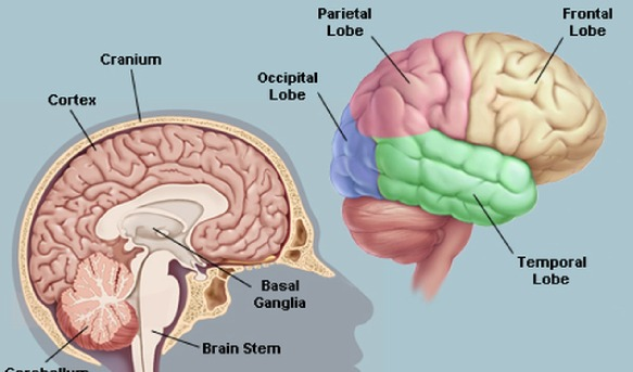 Which lobes are located in the rear of the brain and and ...